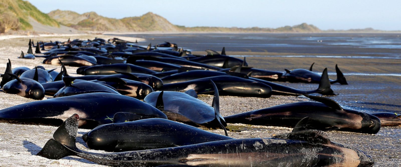 Largest Whale Sentinel Beaching In Human History Prompts Russian